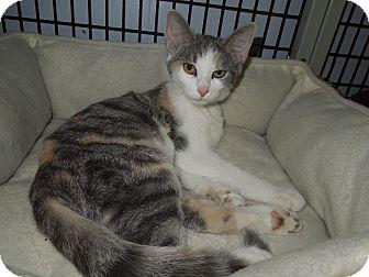 Domestic Shorthair Kitten for adoption in Medina, Ohio - Sara
