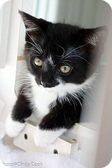Domestic Shorthair Kitten for adoption in Ann Arbor, Michigan - Timothy