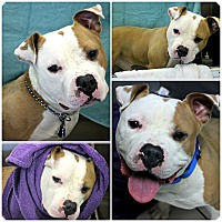 Adopt A Pet :: Dudley - Forked River, NJ