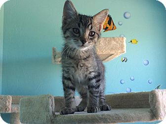 Domestic Shorthair Kitten for adoption in Woodward, Oklahoma - Toro