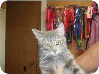 Domestic Mediumhair Cat for adoption in Mason City, Iowa - Gracie