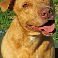 Pit Bull Terrier Mix Dog for adoption in West Babylon, New York - Lindsy