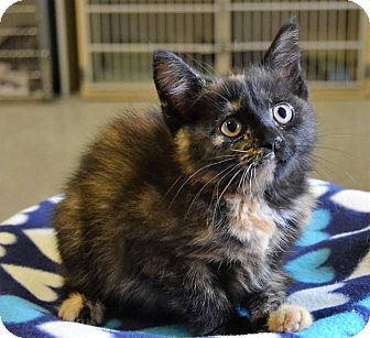 Domestic Mediumhair Kitten for adoption in Michigan City, Indiana - Buttercup