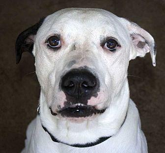 American Bulldog Mix Dog for adoption in Fort Madison, Iowa - Hercules