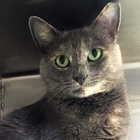 Domestic Shorthair Cat for adoption in Burlington, North Carolina - PIXIE