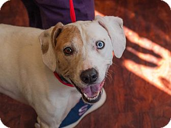 Boxer/Hound (Unknown Type) Mix Dog for adoption in Farmington, Michigan - Darcie Blue Eye