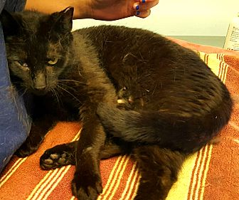 Domestic Shorthair Cat for adoption in Berkeley Hts, New Jersey - Roseann
