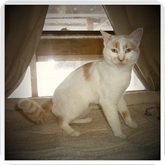Domestic Shorthair Cat for adoption in Medford, Wisconsin - EMMA