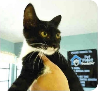 Domestic Shorthair Kitten for adoption in San Clemente, California - AUDREY