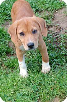 Beagle/Labrador Retriever Mix Puppy for adoption in Media, Pennsylvania - Pixie