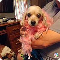 Cocker Spaniel/Poodle (Miniature) Mix Dog for adoption in Tiptonville, Tennessee - Dolly