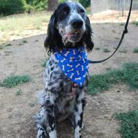 Adopt A Pet :: Chase - Hood River, OR