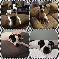 Adopt A Pet :: Sugar Shaker - Racine, WI