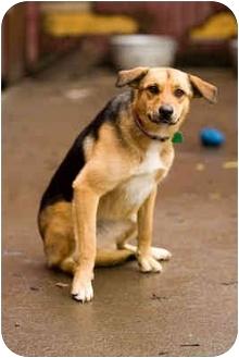 German Shepherd Dog/Australian Shepherd Mix Dog for adoption in Portland, Oregon - Lilli Marlene