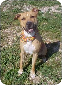 Pit Bull Terrier Dog for adoption in Huntington, New York - Clifford
