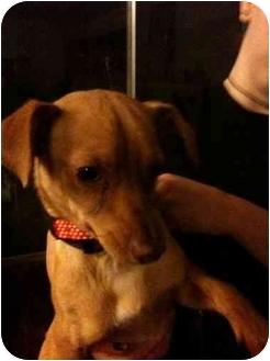 Chihuahua Mix Dog for adoption in Sherman Oaks, California - Rowdy