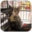 Photo 2 - Domestic Shorthair Kitten for adoption in Riverside, Rhode Island - Penelope