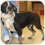 Photo 2 - Labrador Retriever/Pointer Mix Dog for adoption in Spring Valley, New York - Max Reduced FEE