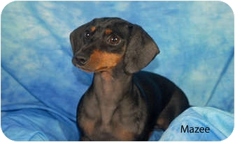 Dachshund Dog for adoption in Ft. Myers, Florida - Mazee
