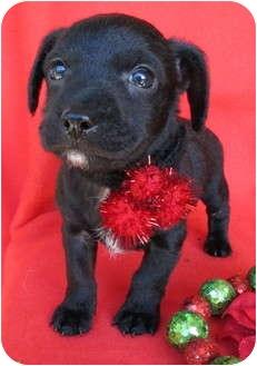 Schnauzer (Miniature)/Poodle (Miniature) Mix Puppy for adoption in Irvine, California - Jingle