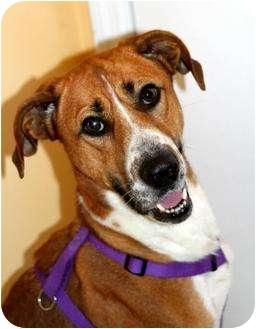 Greyhound/Great Dane Mix Dog for adoption in Buffalo, New York - Poppy Jane