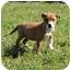 Photo 3 - Australian Shepherd Mix Puppy for adoption in Hagerstown, Maryland - Greta