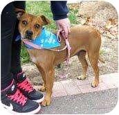 Boxer/Chihuahua Mix Dog for adoption in West Richland, Washington - Jennie