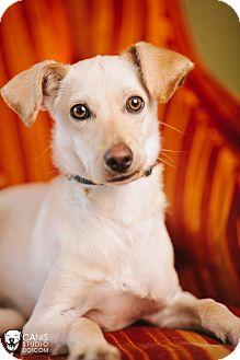 Jack Russell Terrier/Labrador Retriever Mix Puppy for adoption in Portland, Oregon - Stewart