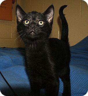 Domestic Shorthair Kitten for adoption in Berlin, Connecticut - Midnight