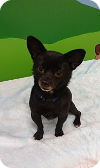 Chihuahua Mix Dog for adoption in New Windsor, New York - Harry