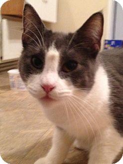 Manx Cat for adoption in Wenatchee, Washington - Max