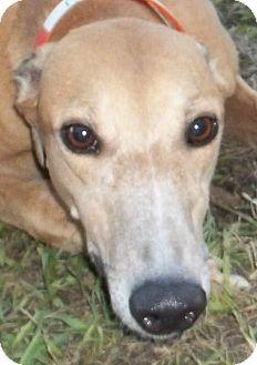 Greyhound Dog for adoption in Longwood, Florida - Moon Lighting
