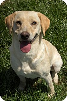 Labrador Retriever/Retriever (Unknown Type) Mix Dog for adoption in Pilot Point, Texas - MISS CLEO