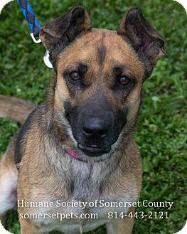 Shepherd (Unknown Type)/Labrador Retriever Mix Dog for adoption in Somerset, Pennsylvania - Maddy