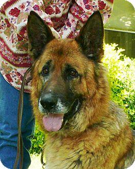 German Shepherd Dog Dog for adoption in Nashville, Tennessee - Elliott