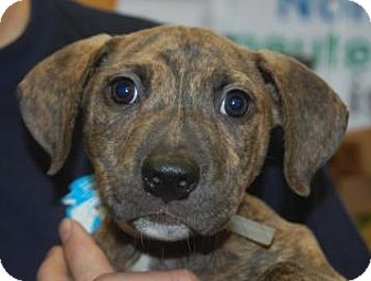 American Pit Bull Terrier Mix Puppy for adoption in Brooklyn, New York - Tazz