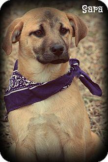 Labrador Retriever/German Shepherd Dog Mix Puppy for adoption in Cranford, New Jersey - SARA