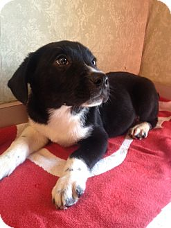 Labrador Retriever Mix Puppy for adoption in East Hartford, Connecticut - Moon Pie-pending adoption
