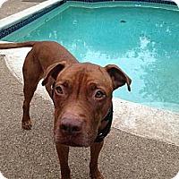 Adopt A Pet :: Kobe - Irving, TX
