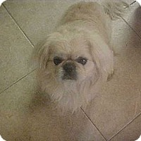 Adopt A Pet :: CAESARE - Cathedral City, CA