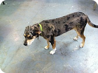 Catahoula Leopard Dog Mix Puppy for adoption in Eddy, Texas - Frankie