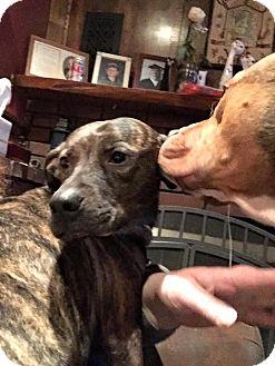 Plott Hound/Terrier (Unknown Type, Medium) Mix Dog for adoption in Essington, Pennsylvania - Neva