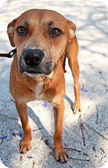 Hound (Unknown Type) Mix Dog for adoption in Bradenton, Florida - Honey
