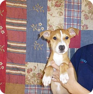 Cattle Dog/Labrador Retriever Mix Puppy for adoption in Oviedo, Florida - Chance