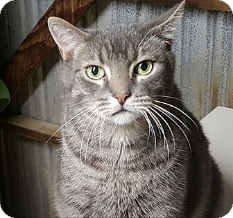 Domestic Shorthair Cat for adoption in Pasadena, California - JJ