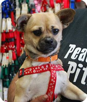 Pug Mix Puppy for adoption in Brooklyn, New York - Gunner