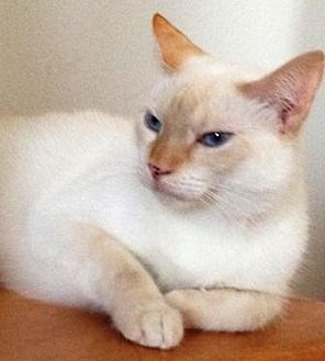 Siamese Cat for adoption in Houston, Texas - Tommy