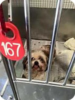 Shih Tzu Mix Dog for adoption in Alpharetta, Georgia - Zakira