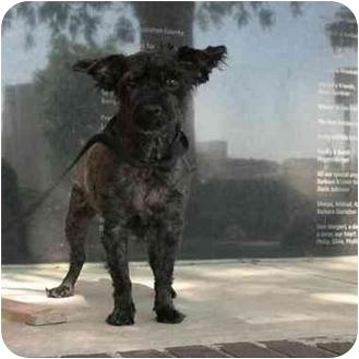 Schnauzer (Miniature) Mix Dog for adoption in Denver, Colorado - Griffin