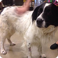 Adopt A Pet :: Acorn - Gainesville, FL